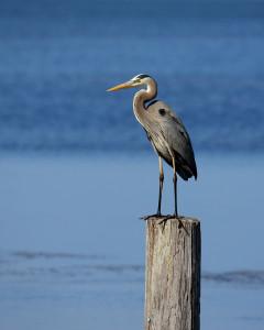 Leslie McKenna Coastal Retreats Blue heron